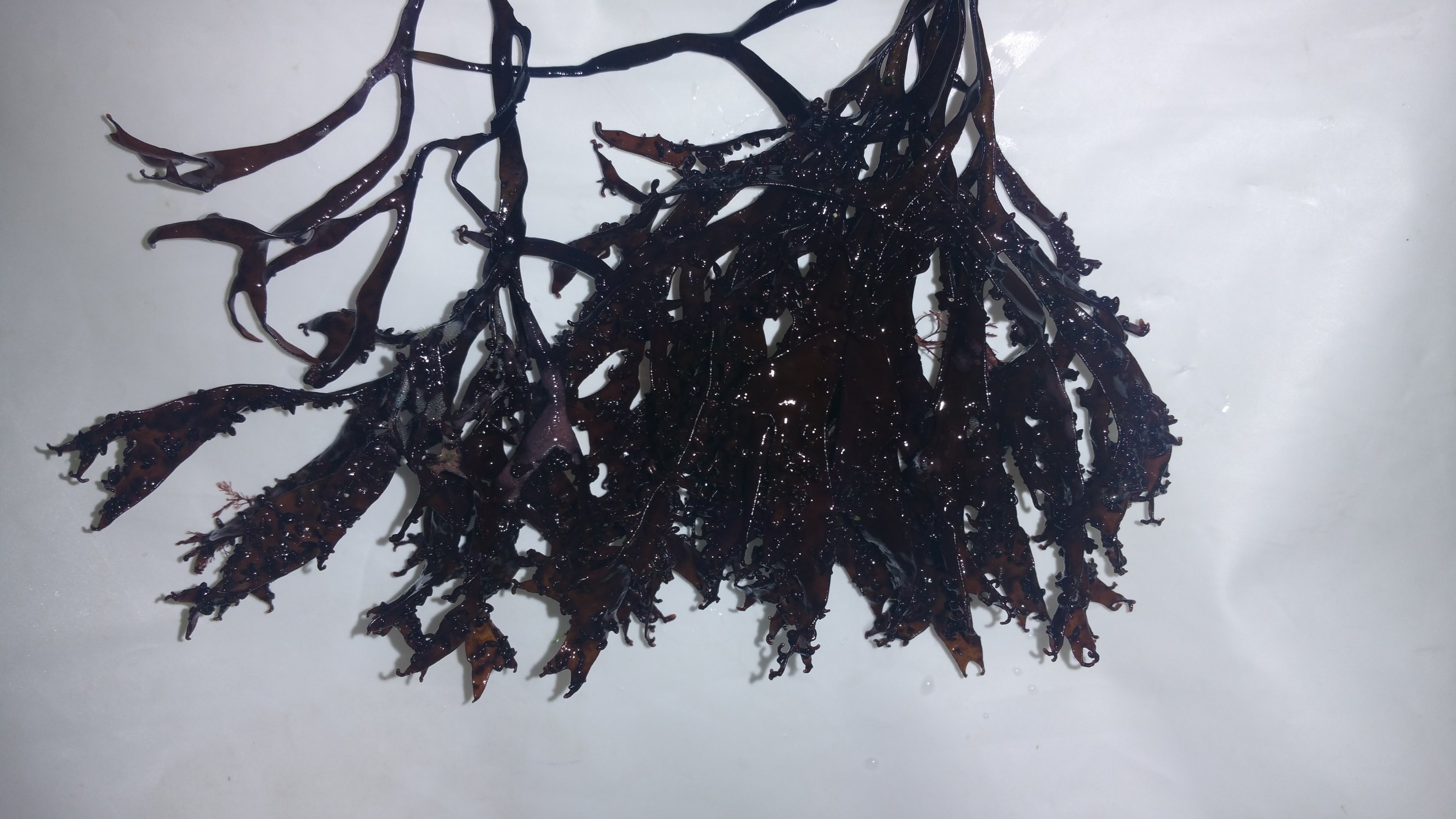 The right seaweed SMALLER.jpg